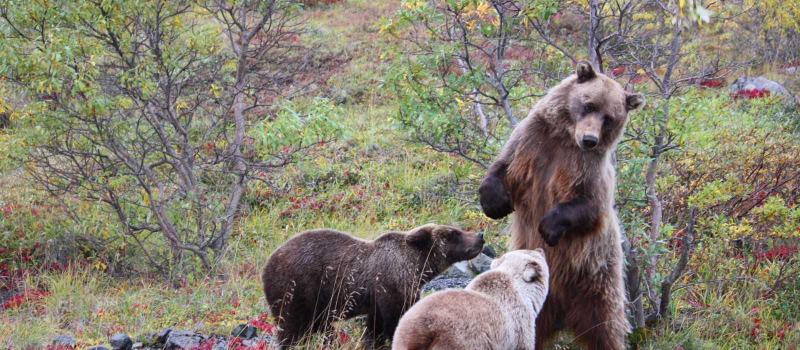 Grizzly Bears- Alaska